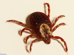 The American [Brown] Dog Tick
