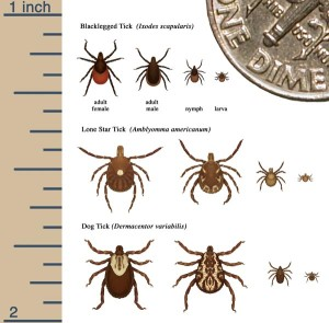 Size Comparison of Common Ticks