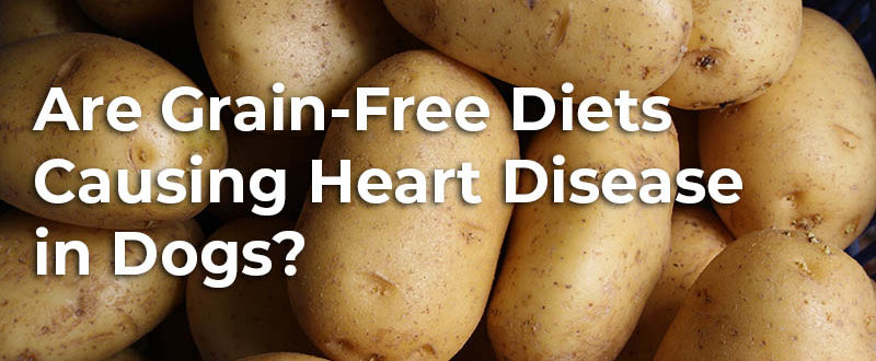 Are Grain-Free Diets Causing Heart Disease in Dogs?